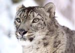 snow-leopard-620556_960_720